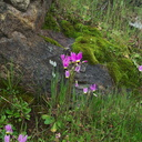 Dodecatheon-clevelandii-meadow-toward-Camino-Cielo-2011-04-02-IMG 7509