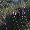 Dodecatheon-clevelandii-padres-shooting-star-near-Painted-Cave-Santa-Barbara-2013-04-06-IMG 0487