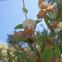 Lepechinia-calycina-pitcher-sage-papery-fruit-sheaths-Camino-Cielo-2011-09-04-IMG 9672