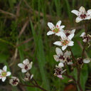 Saxifraga-californica-dodecatheon-meadow-toward-Camino-Cielo-2011-04-02-IMG 7516