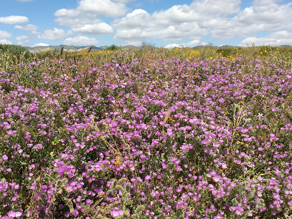 Eremalche-parryi-kern-mallow-purple-flowering-field-Carrizo-Plain-2017-04-20-IMG 7102