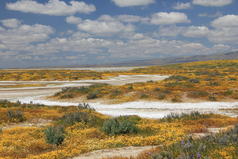 flowers-carpeting-ground-along-white-soda-wash-Carrizo-Plain_Soda_Lake-2017-04-20-IMG-7078.jpg
