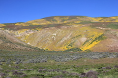 flowers-carpeting-hillsides-Carrizo-Plain-fields-of-wildflowers-from-Hwy58-2017-04-20-IMG-7080