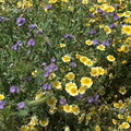 tidy-tips-Layia-platyglossa-and-Phacelia-distans-Carrizo-Plain-2017-04-20-IMG 7083