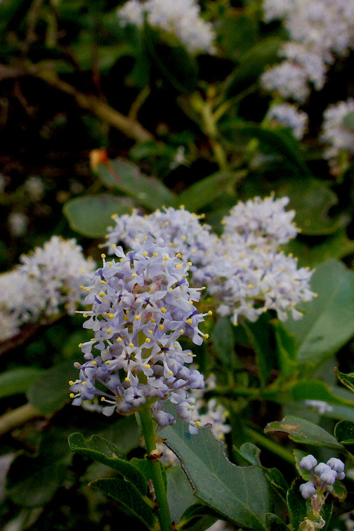 Ceanothus-growing-at-roadside-Southern-California-2017-03-20-IMG 7677