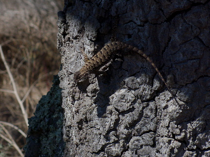 western-fence-lizard-Sceleporous-occidentalis-Charmlee-State-Park-2016-09-24-IMG 7289