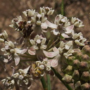 Asclepias-fascicularis-narrowleaved-milkweed-flowers-China-Flats-trail-Simi-2011-09-12-IMG 9723