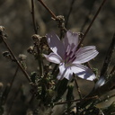 Stephanomeria-exigua-wirelettuce-Marr-Ranch-2015-12-17-IMG 6438