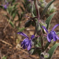 Trichostema-lanceolatum-vinegarweed-China-Flats-trail-Simi-Peak-IMG 9708