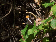 California-sister-butterfly-Adelphia-bredowii-Circle-X-ranch-2011-09-19-IMG 9754