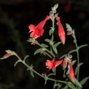Epilobium-canum-California-fuchsia-Circle-X-ranch-2011-09-19-IMG 3372
