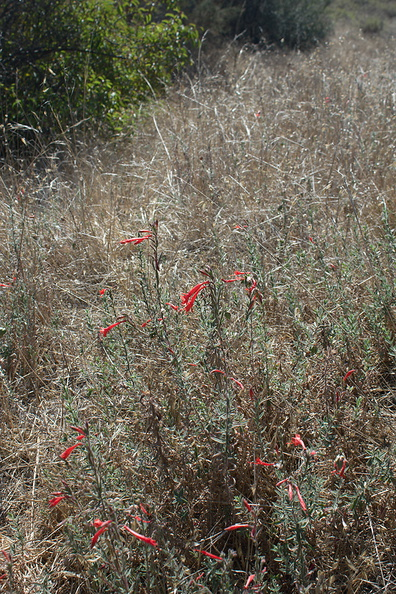Epilobium-canum-California-fuchsia-Circle-X-ranch-2011-09-19-IMG 3387