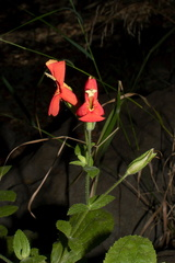 Mimulus-cardinalis-scarlet-monkeyflower-Circle-X-ranch-2011-09-19-IMG 3389