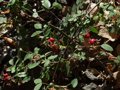 Rosa-californica-wild-rose-rosehips-Circle-X-ranch-2011-09-19-IMG 9740