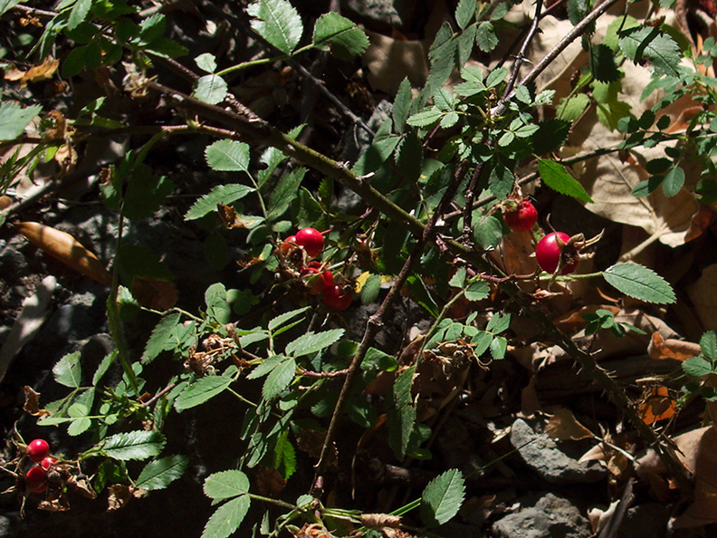 Rosa-californica-wild-rose-rosehips-Circle-X-ranch-2011-09-19-IMG_9740.jpg
