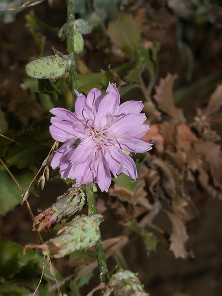 Stephanomeria-cichoriacea-chicory-leaved-wire-lettuce-Circle-X-ranch-2011-09-19-IMG_3376.jpg