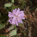 Stephanomeria-cichoriacea-chicory-leaved-wire-lettuce-Circle-X-ranch-2011-09-19-IMG 3376