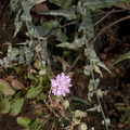 Stephanomeria-cichoriacea-chicory-leaved-wire-lettuce-Circle-X-ranch-2011-09-19-IMG 3377