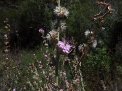 Stephanomeria-cichoriacea-chicory-leaved-wire-lettuce-Circle-X-ranch-2011-09-19-IMG 9727