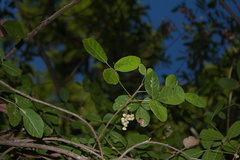 Toxicodendron-diversilobium-poison-oak-fruits-Circle-X-ranch-2011-09-19-IMG 3395