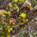Grindelia-sticky-flower-composite-blooming-in-drought-Leo-Carrillo--20130805 013 1