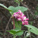 Ribes-malvaceum-chaparral-currant-Malibu-Springs-trail-2013-01-27-IMG 3303