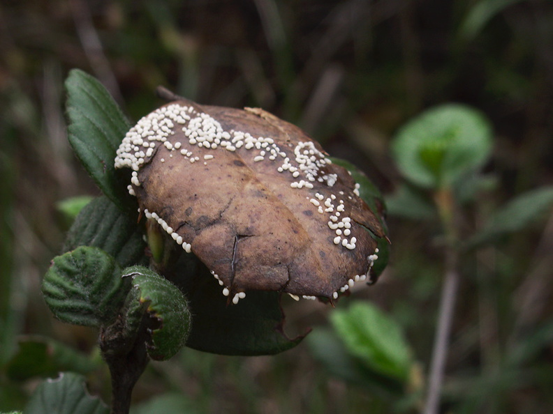 leaf-mold-fungus-white-dots-indet-Malibu-Springs-trail-2013-01-27-IMG_3316.jpg