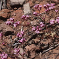 Chorizanthe-staticoides-Turkish-rugging-Mishe-Mokwa-Santa-Monica-Mts-2012-05-31-IMG 1824