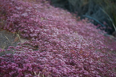 Chorizanthe-staticoides-Turkish-rugging-flowering-mat-Mishe-Mokwa-2016-05-29-IMG 3143