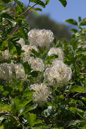 Clematis-lasiantha-pipestem-clematis-Mishe-Mokwa-Santa-Monica-Mts-2012-05-31-IMG 4984