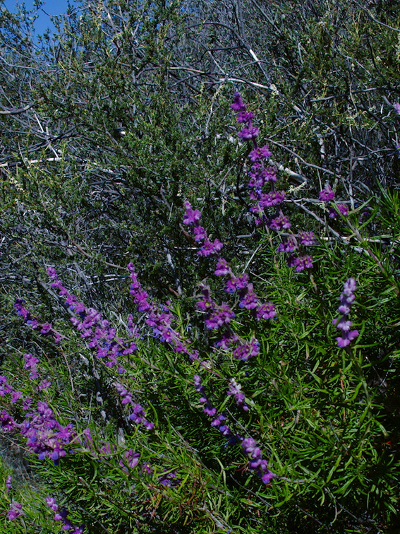 Trichostema-lanatum-woolly-blue-curls-Mishe-Mokwa-trail-2016-04-22-IMG 6747