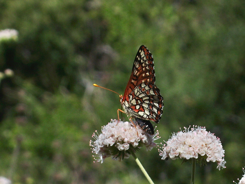 checkerspot-butterfly-Euphydryas-chalcedona-on-California-buckwheat-Mishe-Mokwa-Santa-Monica-Mts-2012-05-31-IMG 1889