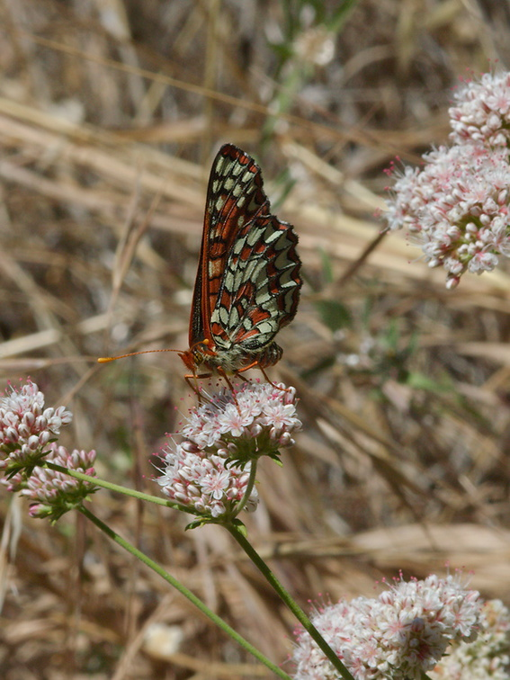 checkerspot-butterfly-Euphydryas-chalcedona-on-California-buckwheat-Mishe-Mokwa-Santa-Monica-Mts-2012-05-31-IMG 4980