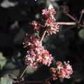 Eriogonum-cinereum-ashy-leaved-buckwheat-Pt-Mugu-2012-01-09-IMG 0440