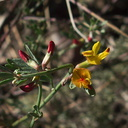 Lotus-scoparius-deerweed-buds-Pt-Mugu-2012-01-09-IMG 0453