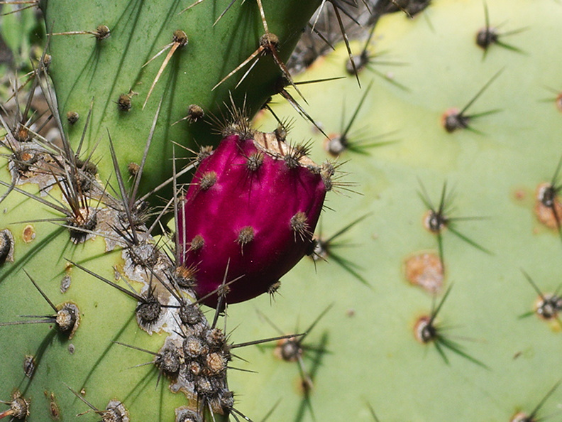 Opuntia-littoralis-prickly-pear-bright-magenta-fruit-Pt-Mugu-2012-01-09-IMG_0410.jpg