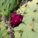 Opuntia-littoralis-prickly-pear-bright-magenta-fruit-Pt-Mugu-2012-01-09-IMG 0410