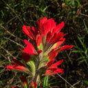 Castilleja-affinis-Indian-paintbrush-La-Jolla-waterfall-trail-2011-02-01-IMG 6967