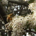 Ceanothus-megacarpus-with-bee-Waterfall-trail-Pt-Mugu-2013-02-01-IMG 3419