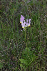Dodecatheon-clevelandii-Padres-shooting-star-Waterfall-trail-Pt-Mugu-2013-02-01-IMG 7285