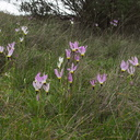 Dodecatheon-clevelandii-Padres-shooting-star-habitat-Waterfall-trail-Pt-Mugu-2013-02-01-IMG 3443