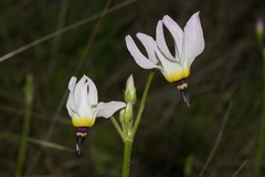 Dodecatheon-clevelandii-Padres-shooting-star-pale-form-Waterfall-trail-Pt-Mugu-2013-02-01-IMG 7306