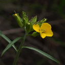 Erysimum-capitatum-Western-wallflower-Waterfall-trail-Pt-Mugu-2013-02-01-IMG 3452