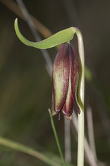 Fritillaria-biflora-chocolate-lily-young-flower-Waterfall-trail-Pt-Mugu-2013-02-01-IMG 7300