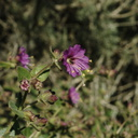 Mirabilis-californica-wishbone-bush-Pt-Mugu-2010-02-13-IMG 3833