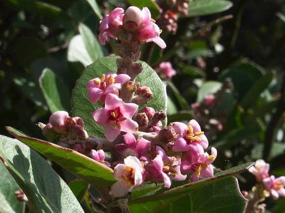 Rhus-integrifolia-lemonadeberry-Pt-Mugu-2012-02-12-IMG 0487