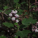 Ribes-malvaceum-chaparral-currant-Waterfall-trail-Pt-Mugu-2013-02-01-IMG 3408