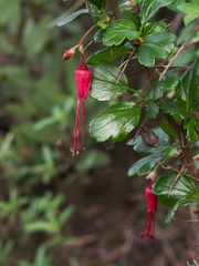 Ribes-speciosum-fuchsia-flowered-gooseberry-Waterfall-trail-Pt-Mugu-2013-02-01-IMG 3416