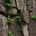 fern-growing-in-bare-rock-crevices-Waterfall-trail-Pt-Mugu-2013-02-01-IMG_3445.jpg