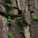 fern-growing-in-bare-rock-crevices-Waterfall-trail-Pt-Mugu-2013-02-01-IMG 3445